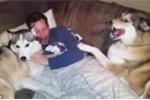 'Cô nàng' Husky ghen tị cực độ khi ông chủ vuốt ve chú chó khác