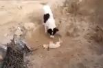 Clip: Cảm động cảnh chó mẹ tự chôn con