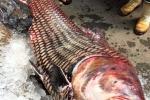 Xem cá hô 'khủng' nặng 135kg dài 1,8m ở TP.HCM