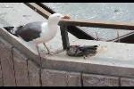 Clip: Chim ăn thịt đồng loại ngay giữa quảng trường