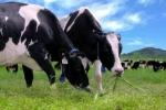 'Thiên đường' bò sữa đang nóng lên?