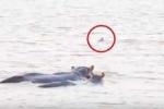 Clip: Trêu ngươi hà mã, cá mập bị đuổi không thương tiếc
