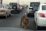 Clip: Hổ khổng lồ 'hồn nhiên' dạo chơi trên đường phố