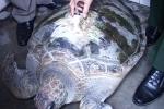 Bắt được rùa biển hơn 50 kg gắn định vị của Trung Quốc