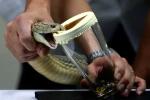 Video: Cận cảnh dùng tay trần chiết xuất nọc độc rắn hổ mang chúa