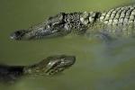 Ớn lạnh clip trăn anaconda khổng lồ nuốt chửng cá sấu