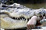 Cho cá sấu ăn, một phụ nữ bị cắn cụt tay
