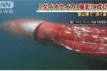 Clip: 'Quái mực' khổng lồ dài 4 mét cực hiếm gặp ở Nhật Bản