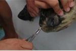 Ống hút dài 10cm mắc kẹt trong mũi rùa biển