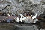 Gấu trúc hiếm chết trôi gần thủy điện Trung Quốc