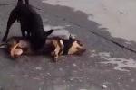 Rơi nước mắt clip chú chó lay xác bạn bị xe tải cán