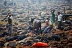 Bỏ lễ hội hiến tế đẫm máu, thảm sát hàng trăm nghìn động vật