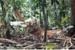 Phát hiện hổ ở Tuyên Quang: Người cầm dao chém hổ, người mất mạng vì hổ cào