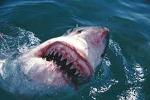 Thợ lặn liều mình xem hàm cá mập gớm ghiếc