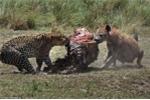 Cuộc chiến giành thức ăn khốc liệt giữa báo và linh cẩu