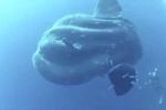 Kỳ quái cá mặt trăng khổng lồ