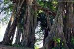 Tuyệt phẩm sanh 800 tuổi khiến giới săn cây 'chết đứng'