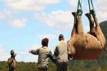 Video: Di tản 500 con tê giác bằng trực thăng