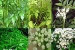 Bài thuốc dân gian từ cây rau cần ta