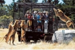 Ảnh: Sư tử đói hung hãn vồ người trong lồng sắt