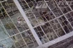 Đàn báo mèo hoang dã ở bãi bồi sông Hồng thuộc chủng loại nào?
