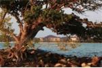 Vinpearl Phú Quốc và truyền thuyết mới về cây Hải Sơn Tùng