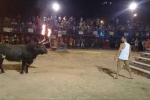 Khiêu khích bò tót lãnh hậu quả thảm khốc