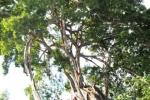 Vẻ đẹp tuyệt mỹ cây sanh thân rồng giá trăm tỷ