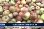 Sự thật về 'táo đá Hà Giang' đang tràn lan các chợ