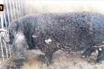 Kỳ lạ lợn mọc lông xoăn tít như cừu, tai to bè như cánh quạt