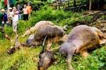 4 con trâu bị sét đánh chết tại Điện Biên