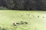 Tưởng ao phủ đầy tảo là bãi cỏ, chú chó 'ngây thơ' lĩnh cái kết đắng