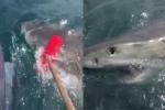 Ngư dân cầm chổi 'giao chiến' với cá mập trắng khổng lồ