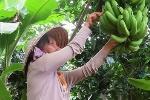 Thương lái Trung Quốc ngừng thu mua, người trồng chuối điêu đứng