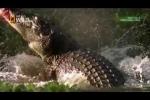 Cá sấu khổng lồ 'xẻ thịt' Kangaroo thảm hại