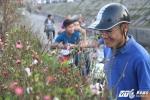 Ảnh: Người Hà Nội rộn ràng mua đào Tết ngày đầu năm mới 2017