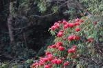 Lạc trôi miền hoa đỗ quyên tại Sun World Fansipan Legend