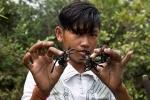 Khám phá nghề săn nhện khổng lồ, to như lòng bàn tay ở Campuchia