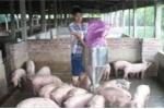 Chuyện làm giàu của triệu phú chăn lợn