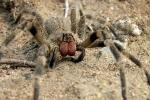 Nọc độc của loài nhện nguy hiểm nhất thế giới có thể chữa liệt dương