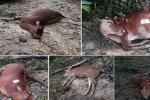 Tìm ra nguyên nhân cả đàn bò chết bất thường ở Hà Tĩnh