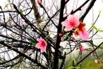 Ảnh: Hoa đào nở sớm ở xã biên giới Nghệ An