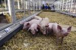 Lợn chạy tung tăng trong siêu thị vì giá thịt lao dốc