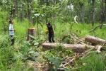 Bắt nguyên đại tá phá rừng trồng cao su