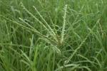 Cỏ mần trầu: Vị thuốc quý 'núp bóng' loài cỏ dại