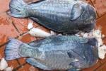 Cá mó gù khổng lồ giá bạc triệu: Dân Hà thành góp tiền ăn chung