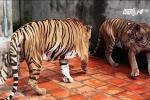 Hổ nuôi vồ chết người ở Bình Dương