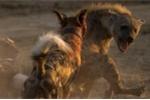 Đàn chó hoang châu Phi đại chiến với linh cẩu để giữ mồi