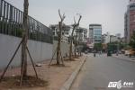 Ảnh: Hàng loạt cây chết khô trên phố Hà Nội được thay thế