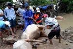 Sau lũ, dân ngậm ngùi xẻ thịt bò chết bán vớt vát tài sản